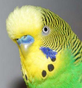 Muhabbet Kuşu hakkında bilinmesi gerekenler