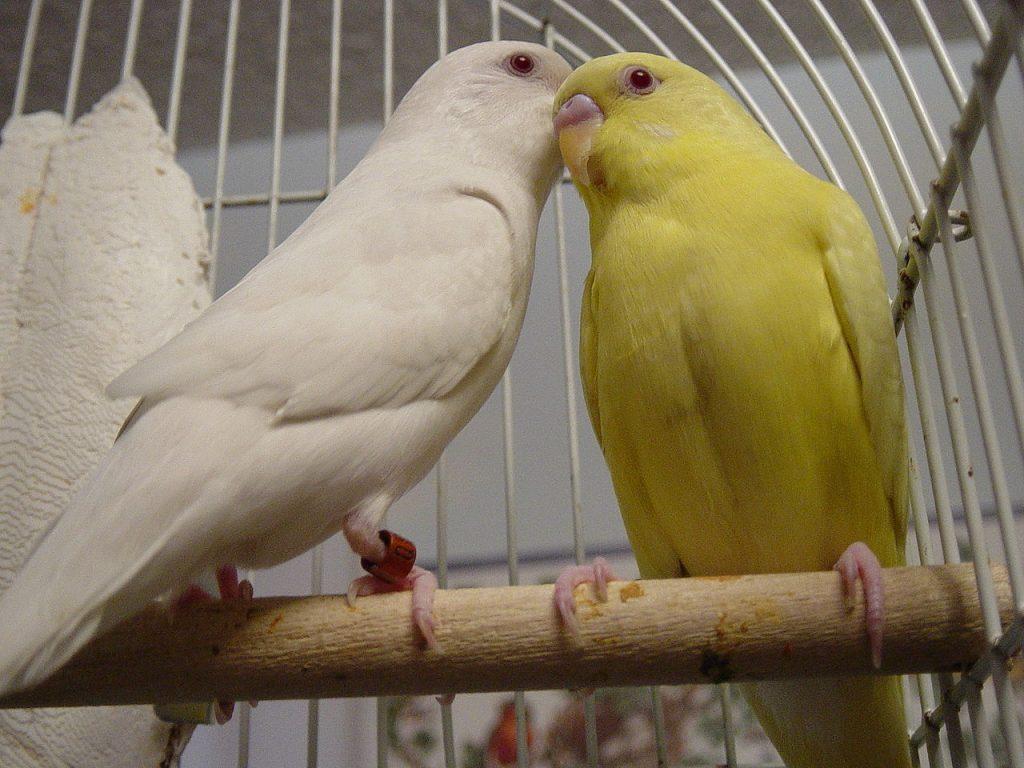 Muhabbet Kuşları Tavırları Ve Anlamları
